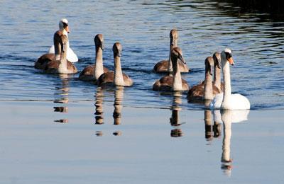 swans-346922_1280